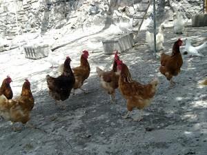Finca La Puerta de Alcala - Hühner und Tauben der Finca