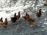 Hühner und Tauben der Finca